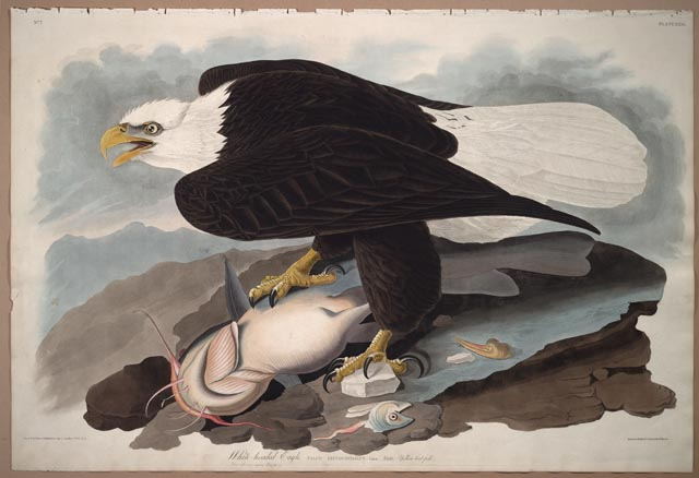 Audubon watercolor of bald eagle - Library of Congress image