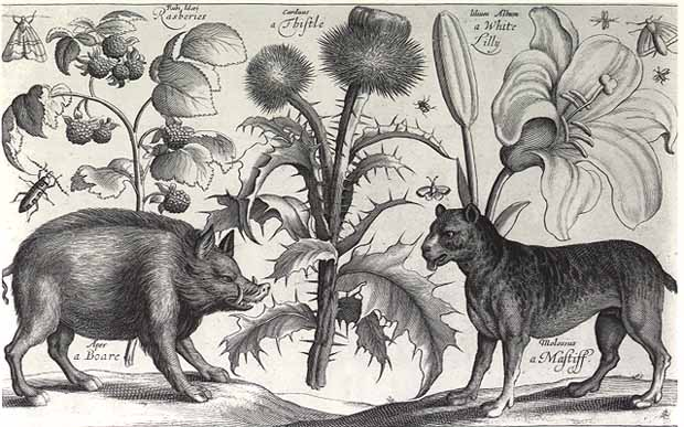 Image result for A Boare, a Mastiff, a Thistle , an engraving by Wenceslaus Hollar