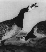 Barnacle Goose [graphic].