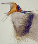 Barn Swallow [graphic].