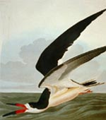 Black Skimmer [graphic].