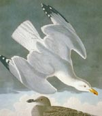 Herring Gull [graphic].