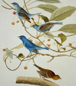 Indigo bunting (#74) [graphic].