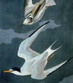 Lesser Tern [graphic].