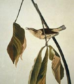 Louisiana Water Thrush [graphic].