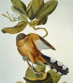 Mangrove Cuckoo [graphic].