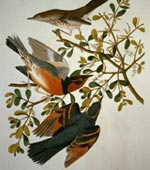Mountain Mocking Bird and Varied Thrush [graphic].