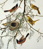 Orchard oriole (#42) [graphic].