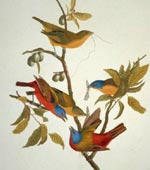 Painted Bunting [graphic].