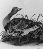 White Fronted Goose [graphic].