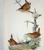Winter Wren [graphic].