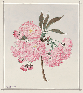 Kwan-zan (Barrier Mountain) cherry blossom. Watercolor drawing by Kōkichi Tsunoi, 1921. Kwan-zan was one of only three varieties of cherry blossom trees to survive after frequent floods around the Tidal Basin in the 1930s.