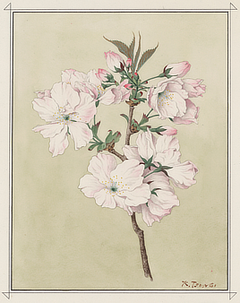 Ariake (Daybreak) cherry blossom. Watercolor drawing by Kōkichi Tsunoi, 1921. The gift of trees to Washington in 1912 included 100 trees of this variety.