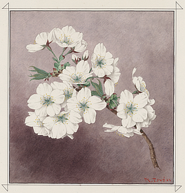 Shirayuki (White Snow) cherry blossom. Watercolor drawing by Kōkichi Tsunoi, 1921. The gift of trees to Washington in 1912 included 130 trees of this variety