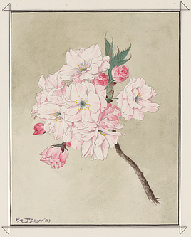 Fukurokuju (God of Longevity) cherry blossom. Watercolor drawing by Kōkichi Tsunoi, 1921. The gift of trees to Washington in 1912 included 50 trees of this variety