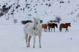 A mixed herd of wild and domesticated horses test the snow on the Ladder Livestock ranch that straddles the Wyoming-Colorado border. Digital photo by Carol M. Highsmith, 2016